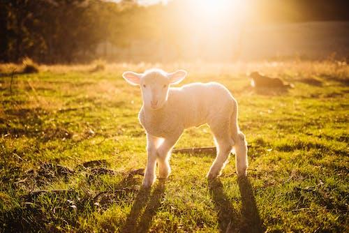 Foto d'estoc gratuïta de a pagès, animal, arbres, bestiar