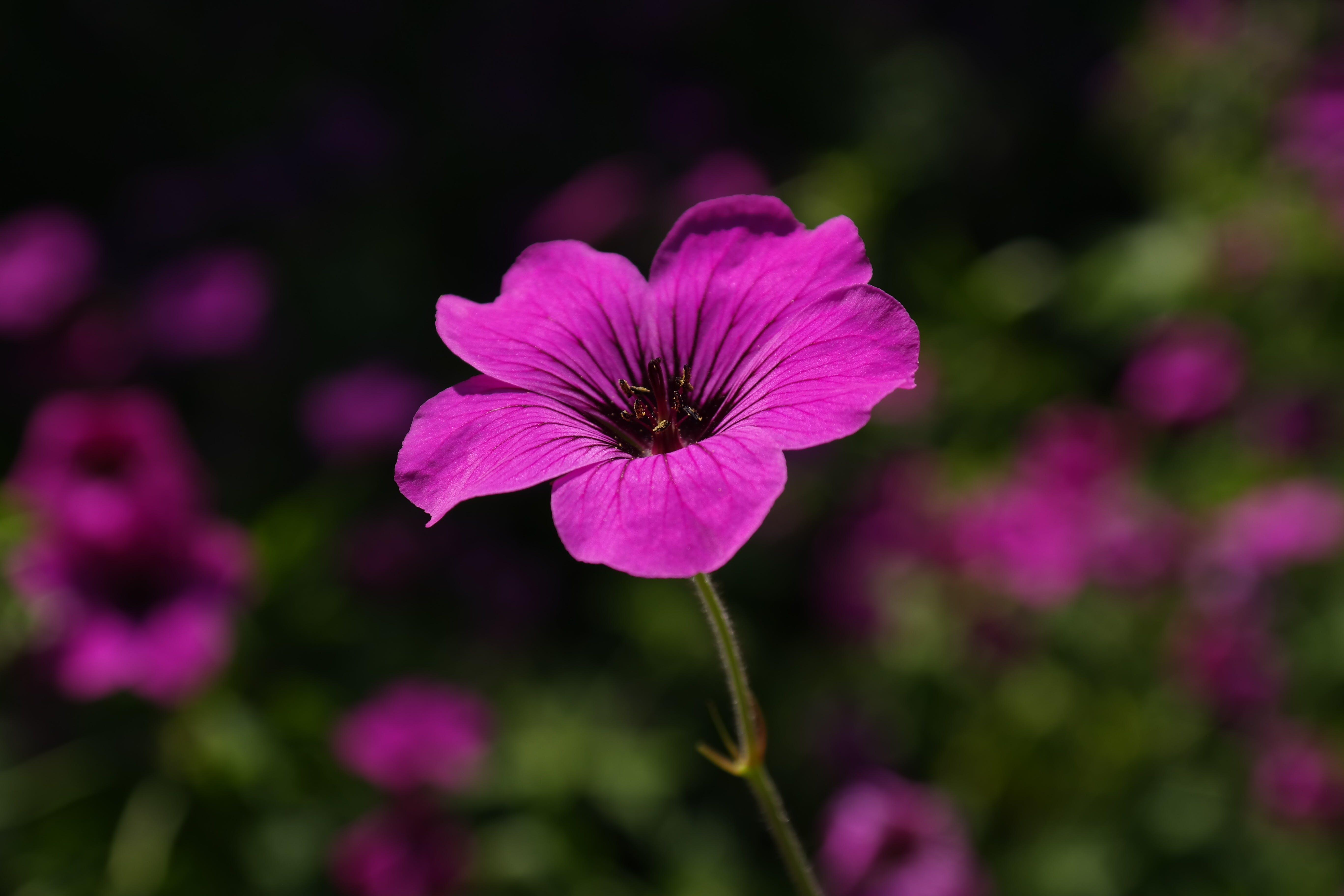 Základová fotografie zdarma na téma fialová, flóra, kvést, květ