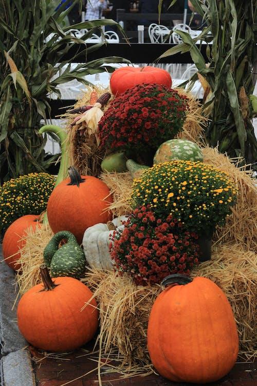 Free stock photo of autumn decoration, fall scene, Mums, pumpkins