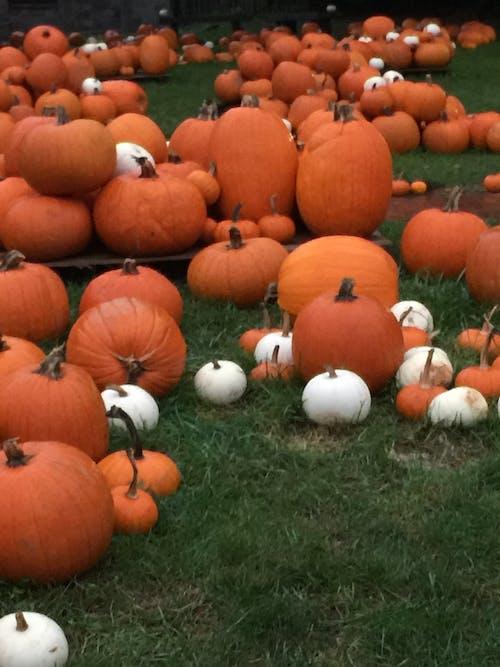 Free stock photo of autumn decoration, pumpkin, pumpkin patch, pumpkins