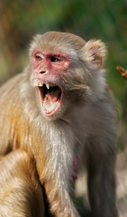 Wild brown and white monkey with open mouth
