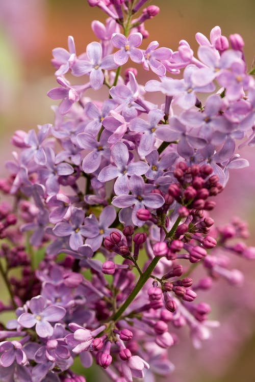 Blooming lilac with gentle flowers in garden