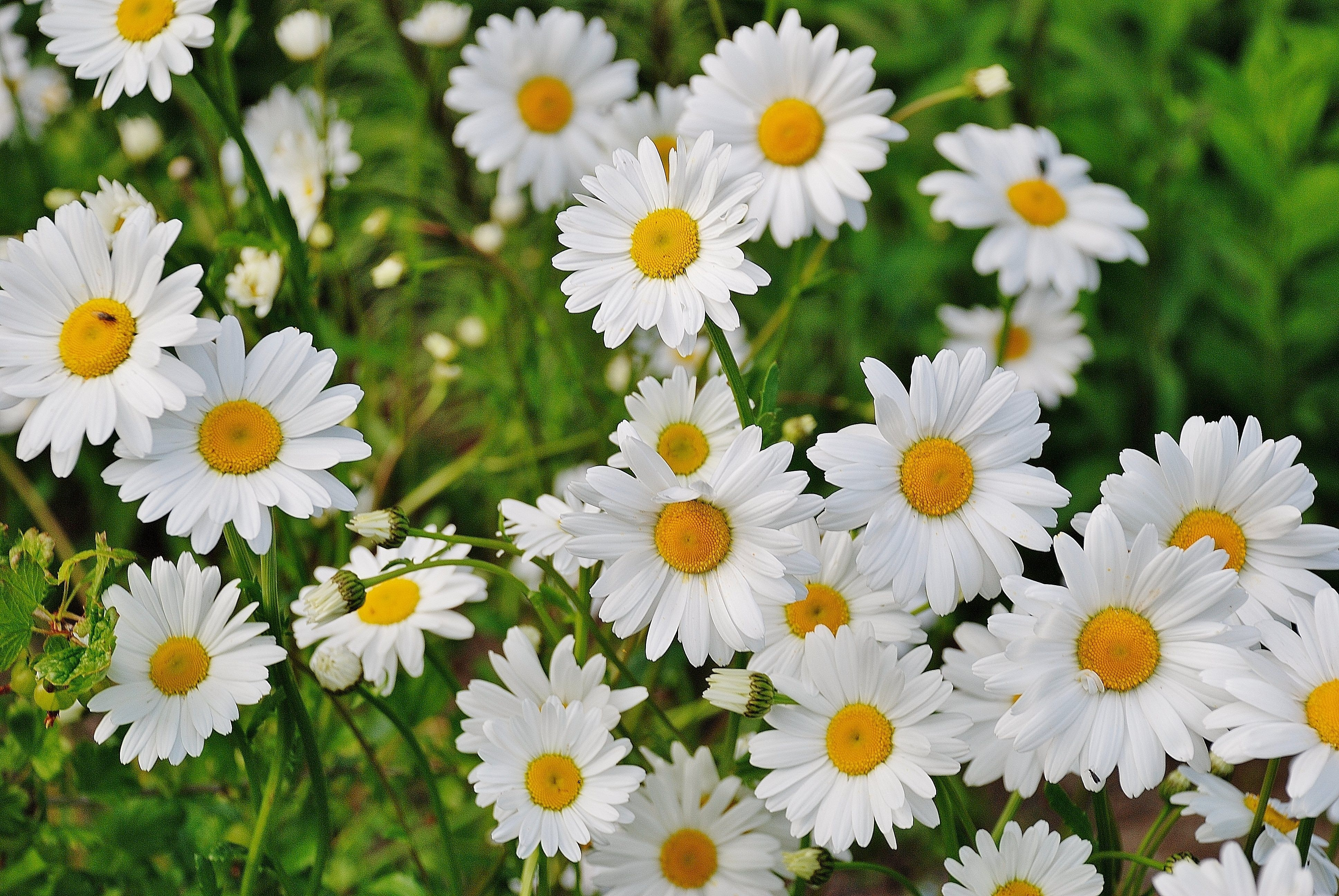 Related Searches Flower Flowers Daisies HD Wallpaper Close Up