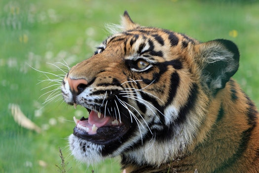 Tiger on Green Grass Field