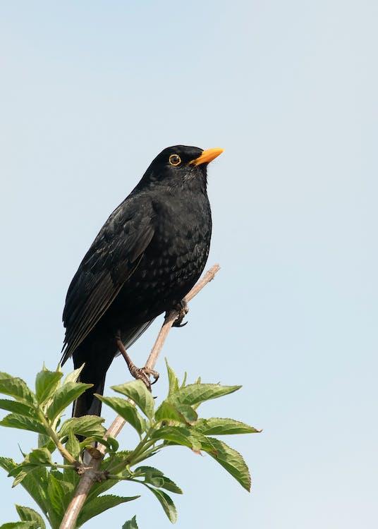 Free stock photo of blackbird, branch
