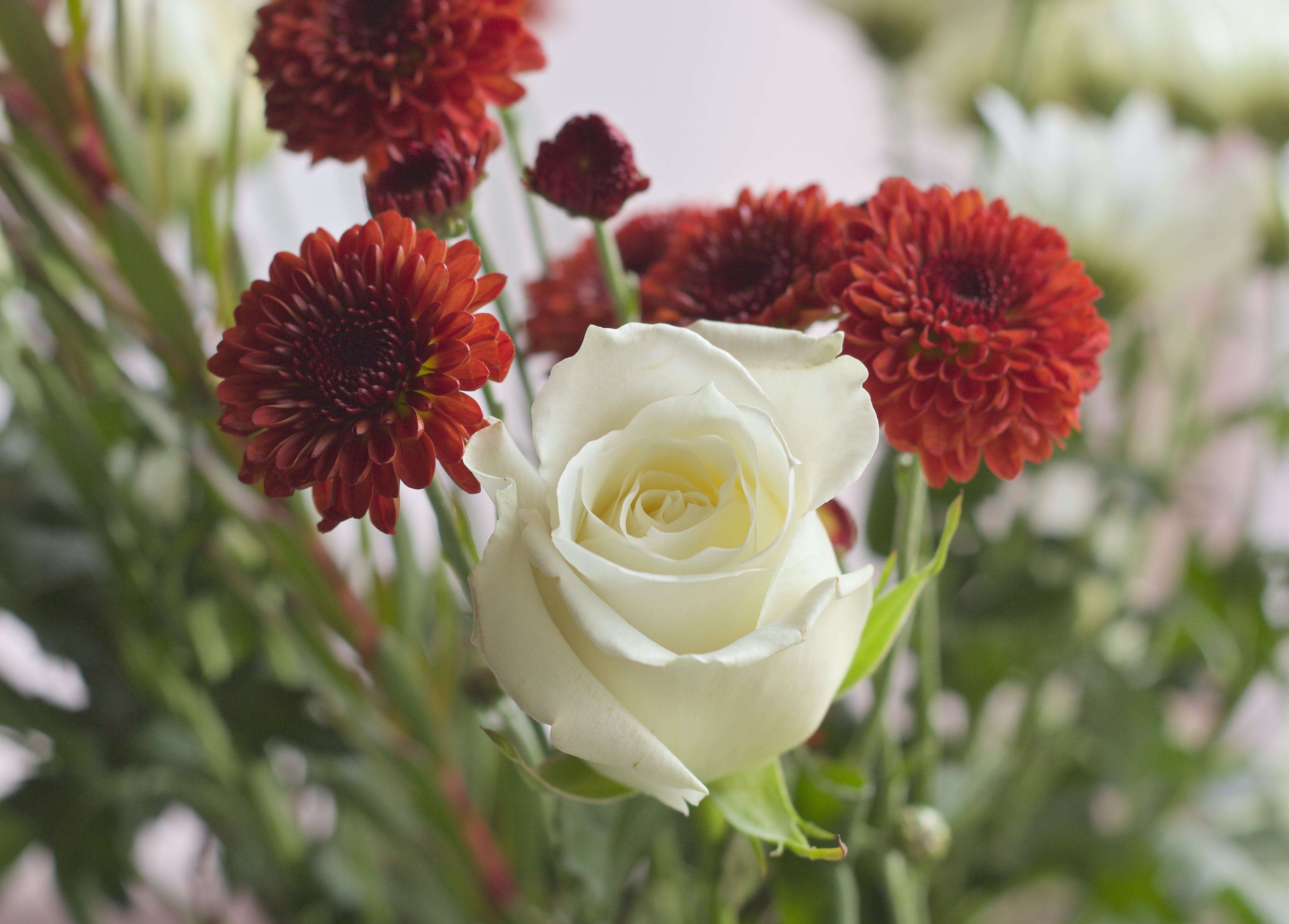 White Rose and Red Chrysanthemum Flowers