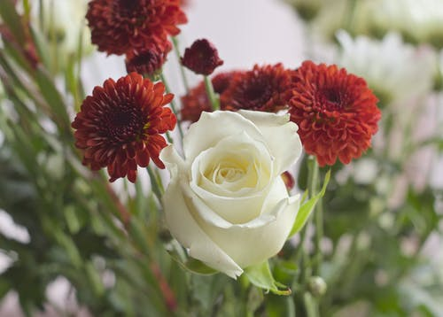 คลังภาพถ่ายฟรี ของ กลีบดอก, กุหลาบขาว, ดอกไม้