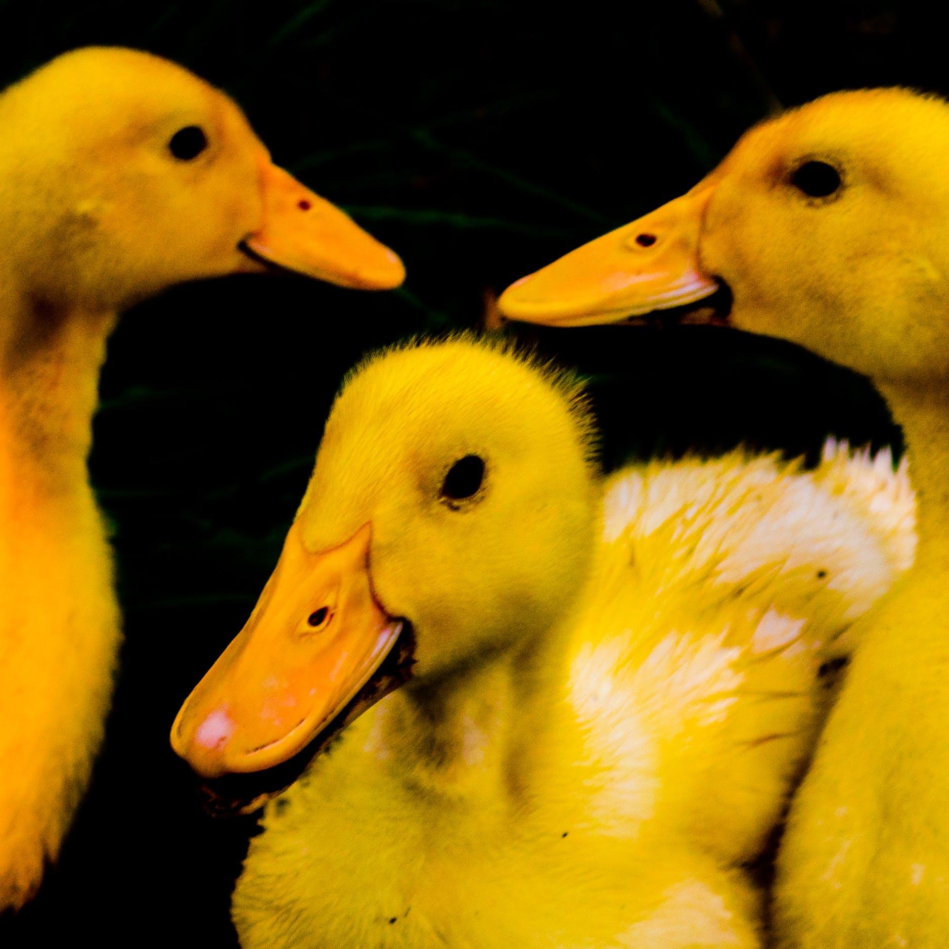Free stock photo of cute ducks, duck, duckling, ducklings