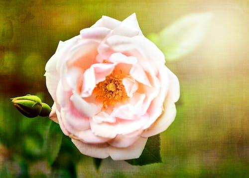 ピンクのバラ, フローラル, 夏の花の無料の写真素材
