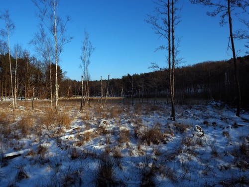 Free stock photo of birch, bog, snow
