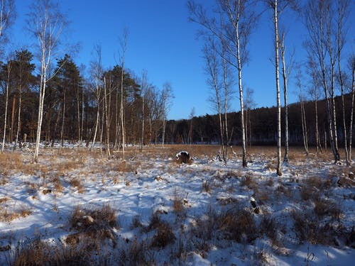 Free stock photo of birch, bog, cold