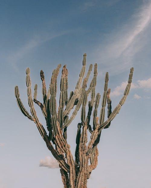 Photos gratuites de acéré, agave, aiguisé