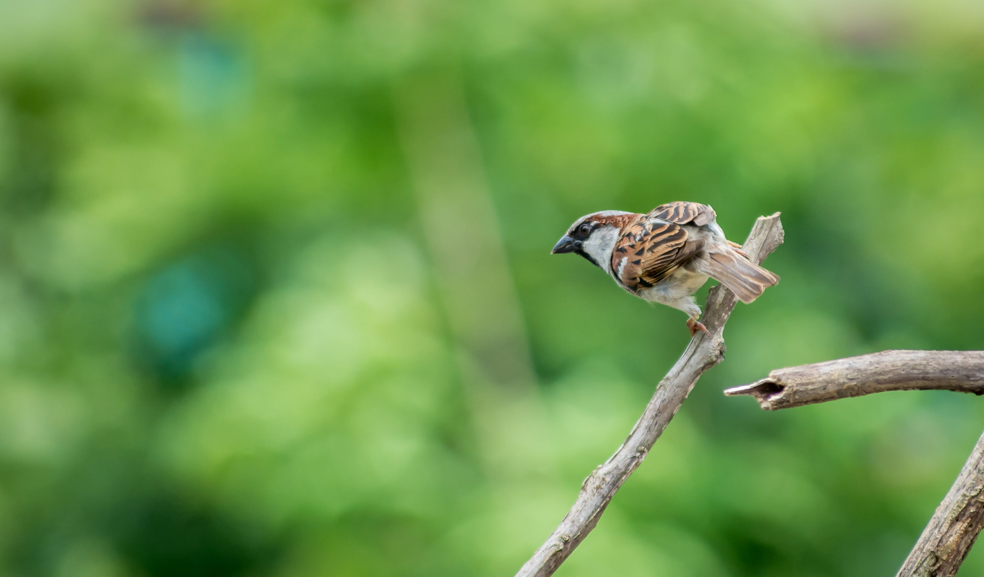 Selective Focus Photography of House Sparrow Perching on Tree Branch
