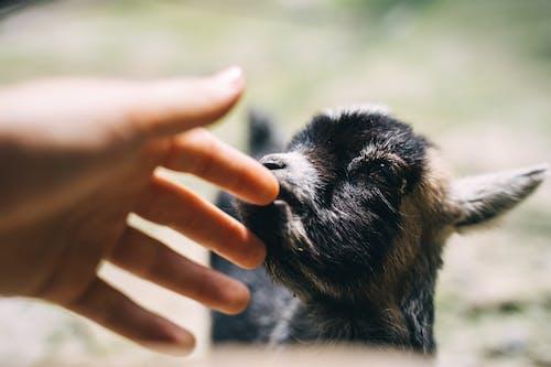 Základová fotografie zdarma na téma domácí zvíře, farmářské zvíře, hospodářská zvířata