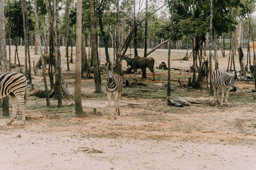 Zebras and antelopes walking in savanna