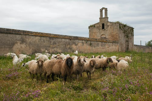 Photo of a Herd of Sheep on a Green Grass Field