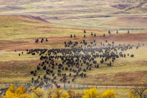 Herd of Buffalo Raging
