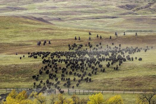 Herd of Buffalo Raging
