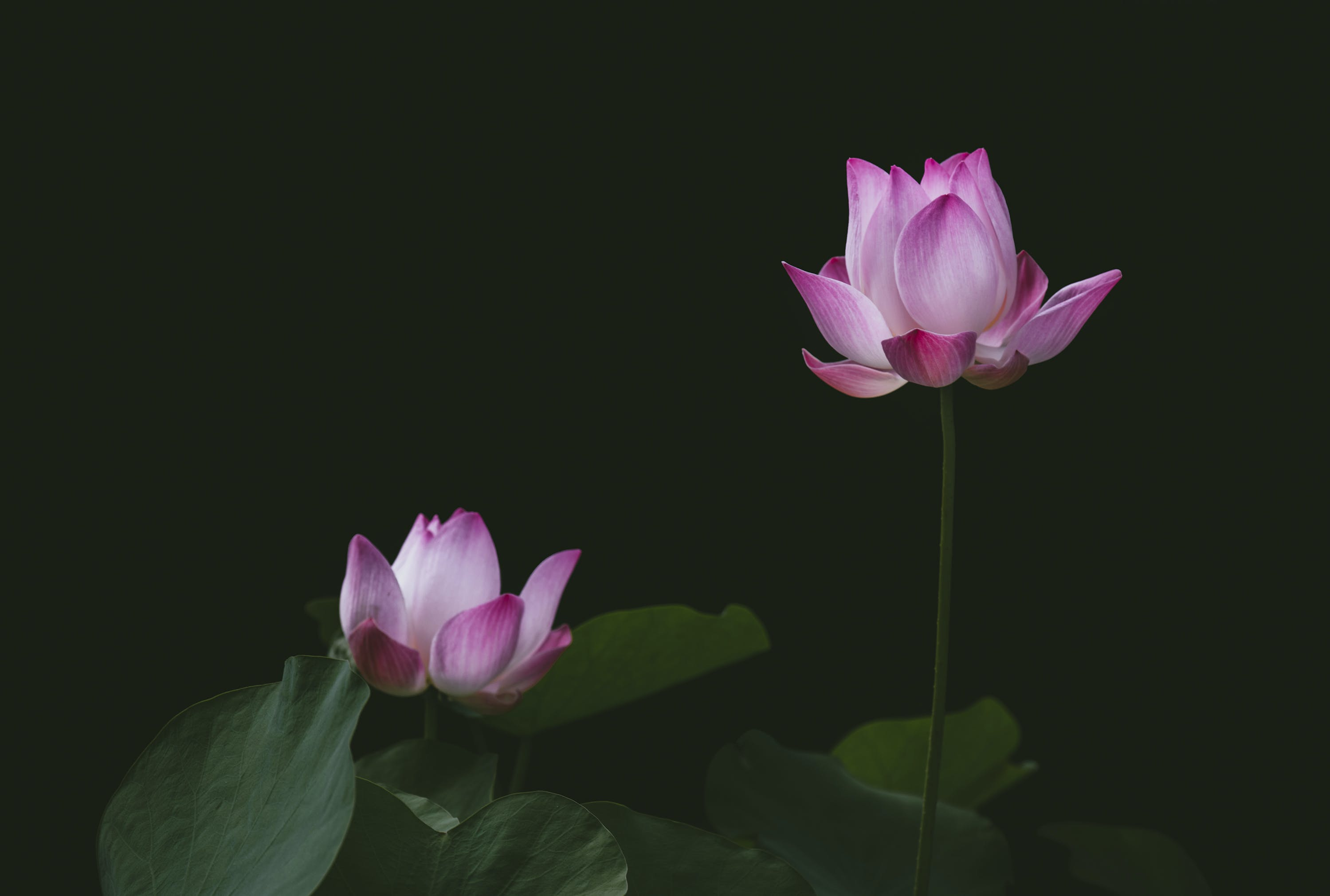 Close-up Photography of Lotus