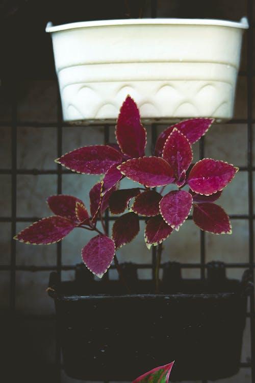 คลังภาพถ่ายฟรี ของ coleus, กระถาง, กระถางดอกไม้
