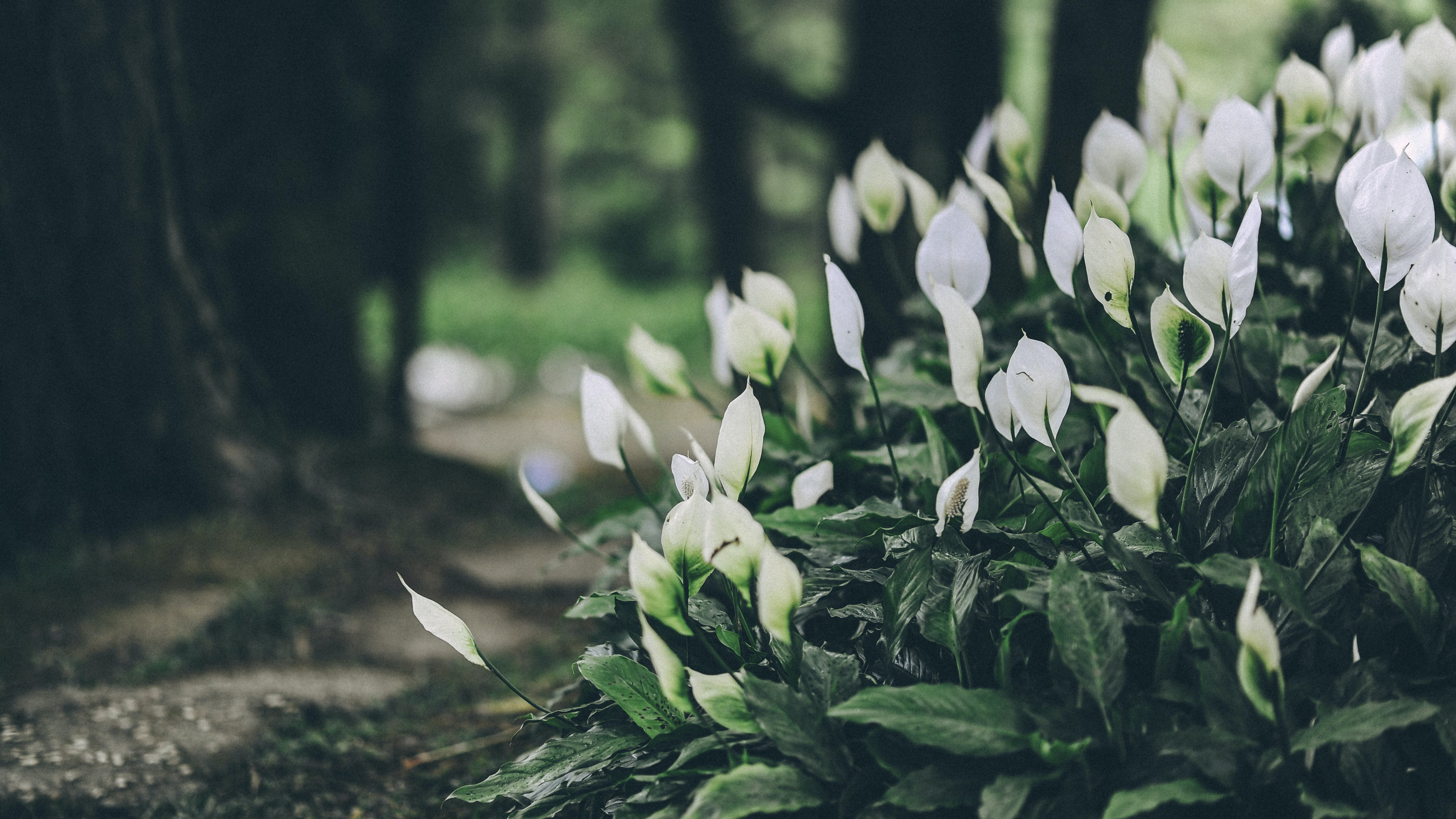 White Anthorium Flowers Near Brown Soil in Tilt Shift Lens Photography