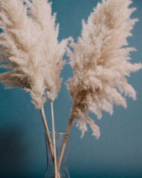 Cortaderia selloana plants with fluffy inflorescence plumes and thin stems placed in transparent glass vase on blue background