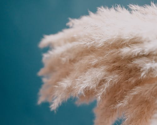 Pampas grass plants furry inflorescence plumes on blue background