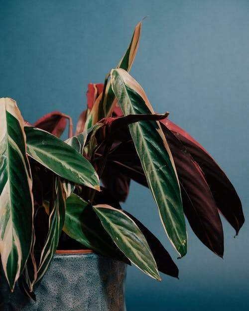 Potted plant with green and red leaves on blue background