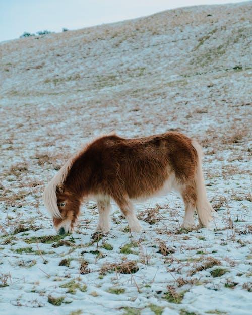 Pony grazing in snowy meadow in hilly terrain