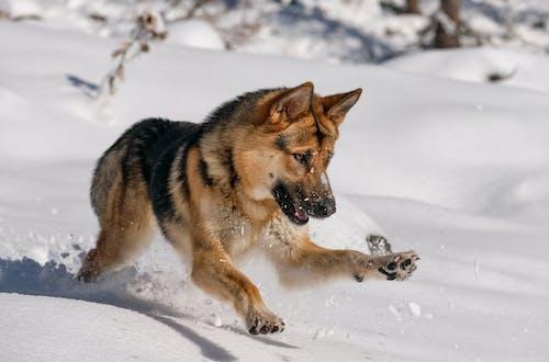 Free stock photo of alaska, animal, canine