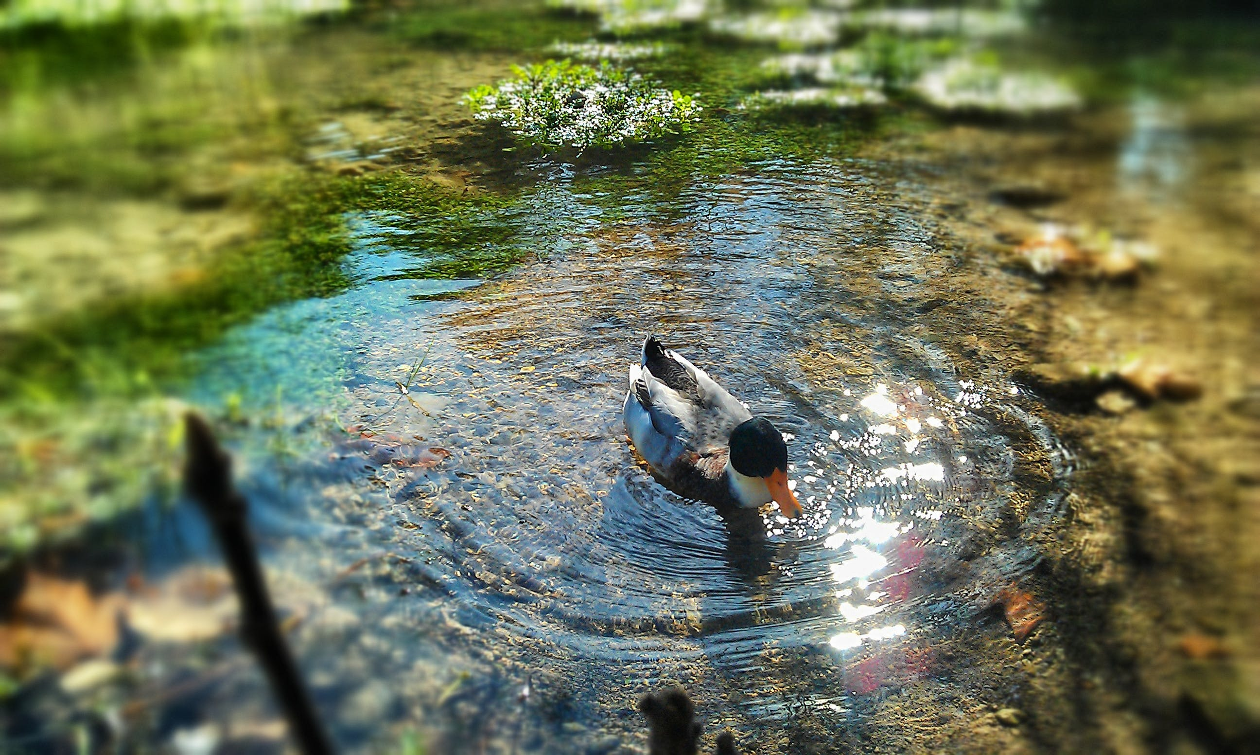 Gray Black and Orange Duck Swimming on Body of Water