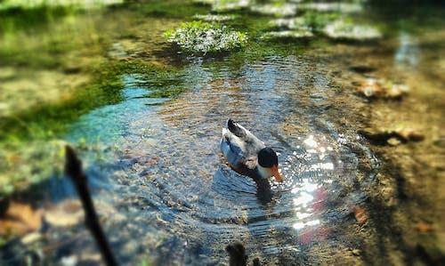 Fotobanka sbezplatnými fotkami na tému jazierko, príroda, zviera
