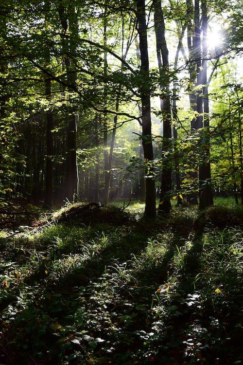 Foto stok gratis balok, hutan, matahari