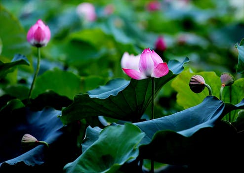 1000 amazing lotus flower buds photos pexels free stock photos selective focus photo of pink and white petaled flowers mightylinksfo