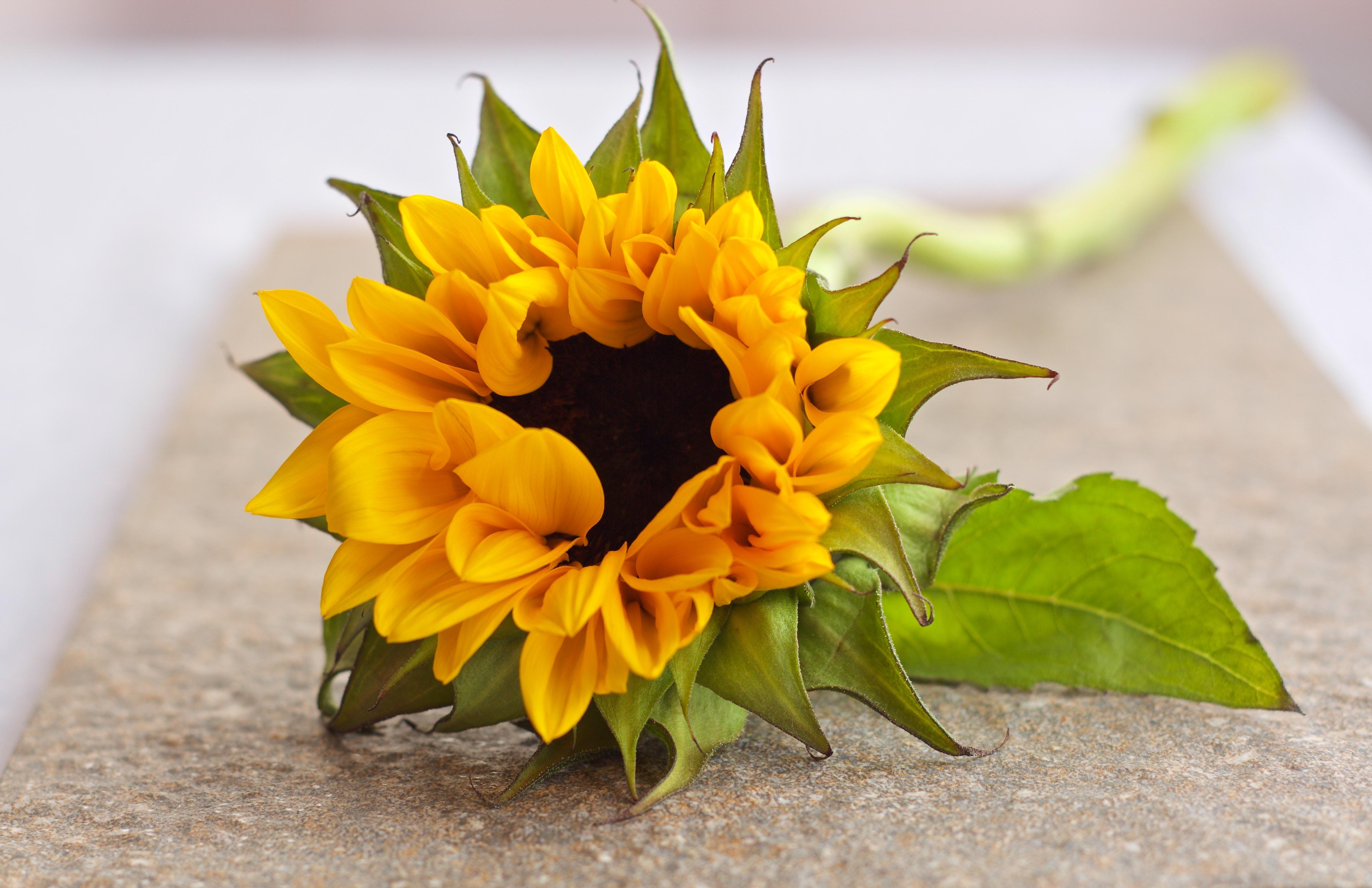 flower, petals, sunflower