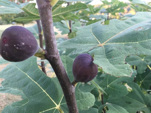Free stock photo of fig, figs