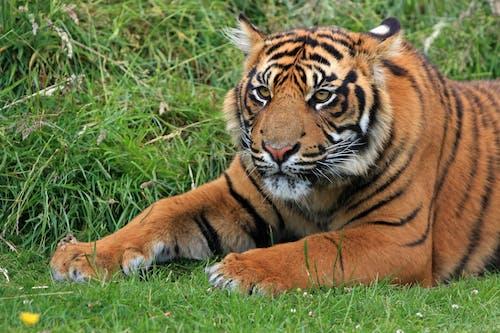Imagine de stoc gratuită din animal, faună sălbatică, felină, iarbă