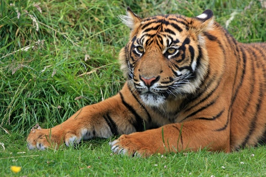 Bengal Tiger Laying in Green Grass at Daytime