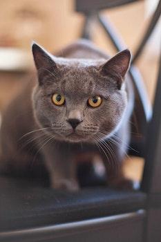 Gray and Yellow Eye Cat