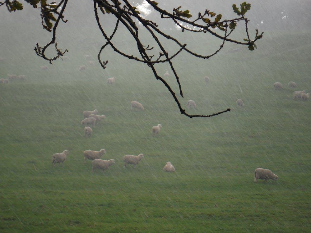 Free stock photo of raining, sheep