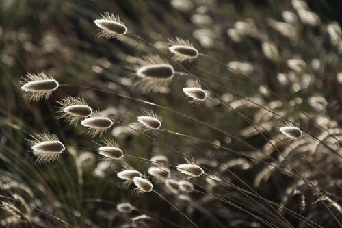 Free stock photo of backlight, bunny tails, flora, grass