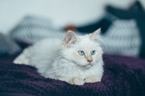 Full length cute fluffy white cat lying on soft comfy bed and looking away attentively