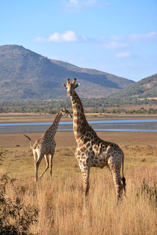 2 Giraffes Standing on Brown Grass Field