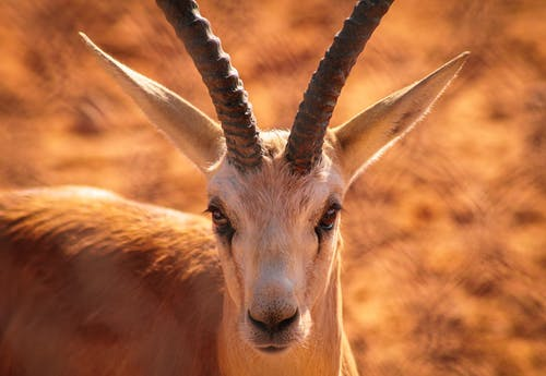 Základová fotografie zdarma na téma antilopa, báječný, barbarský