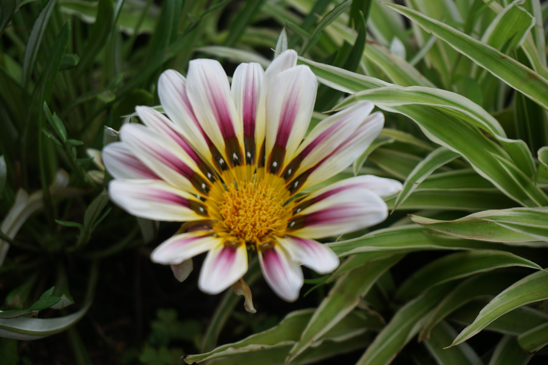 Free stock photo of beautiful flowers, bloom, blooming, Brautif