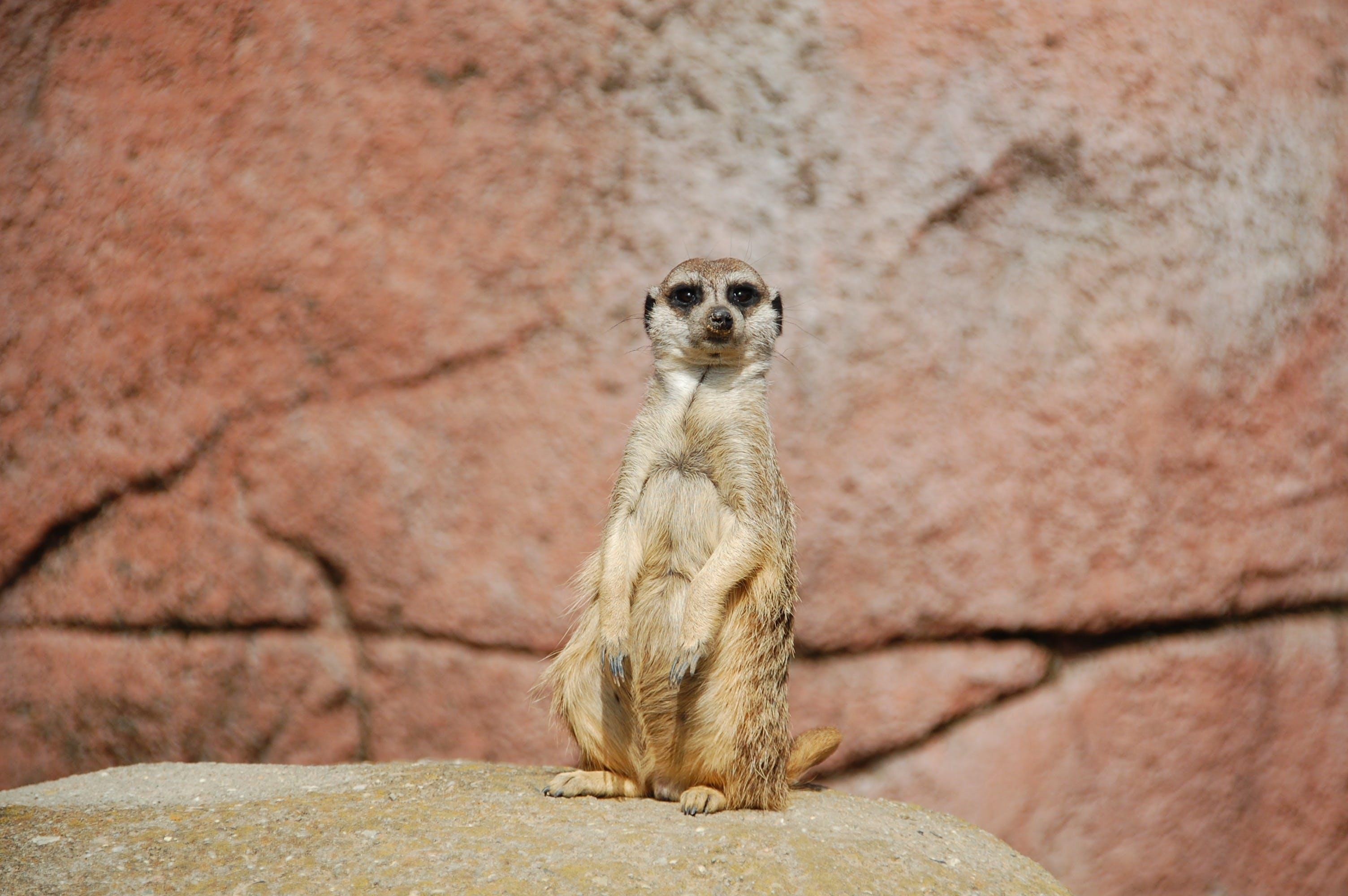 Základová fotografie zdarma na téma surikata, zvíře
