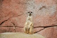 animal, wildlife, meerkat