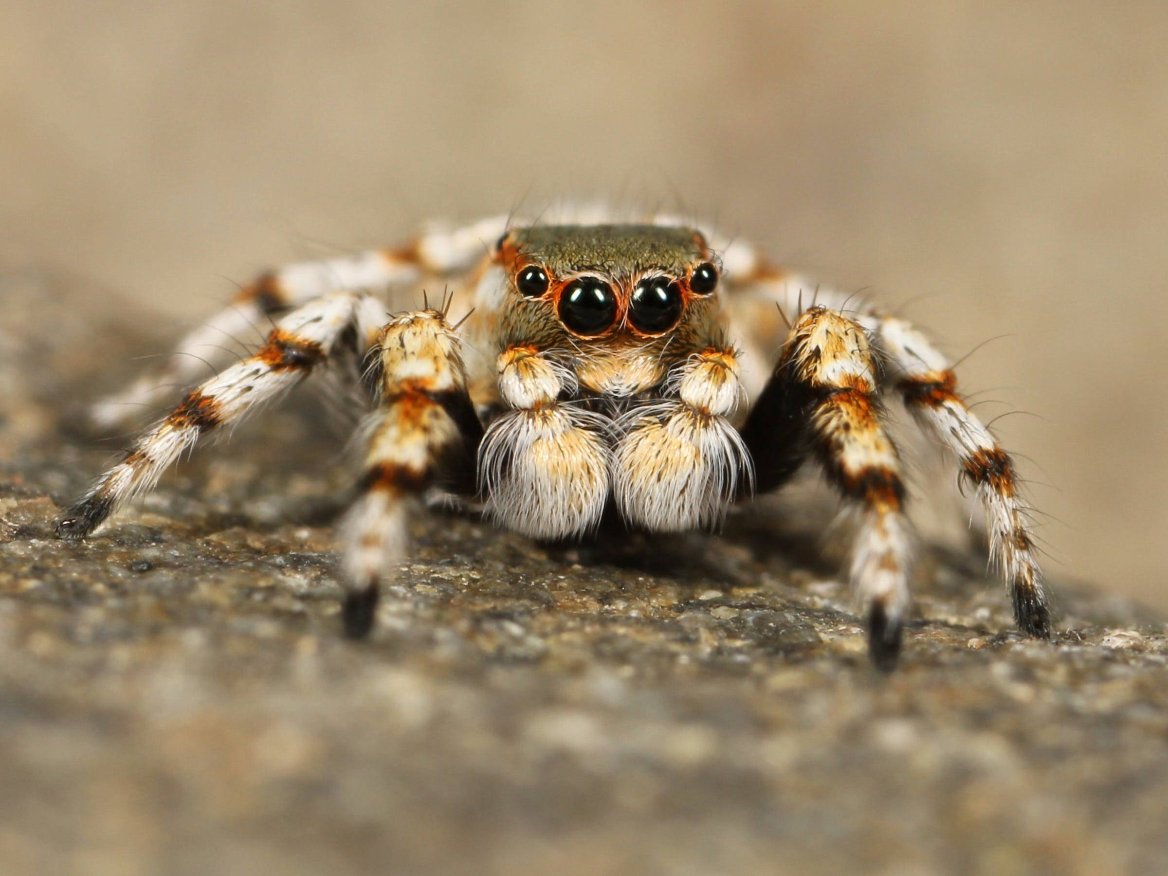 Brown and White Spider