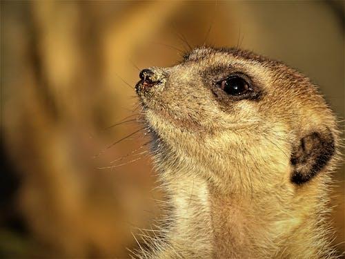Ilmainen kuvapankkikuva tunnisteilla eläin, katsominen, lähikuva, mangusti