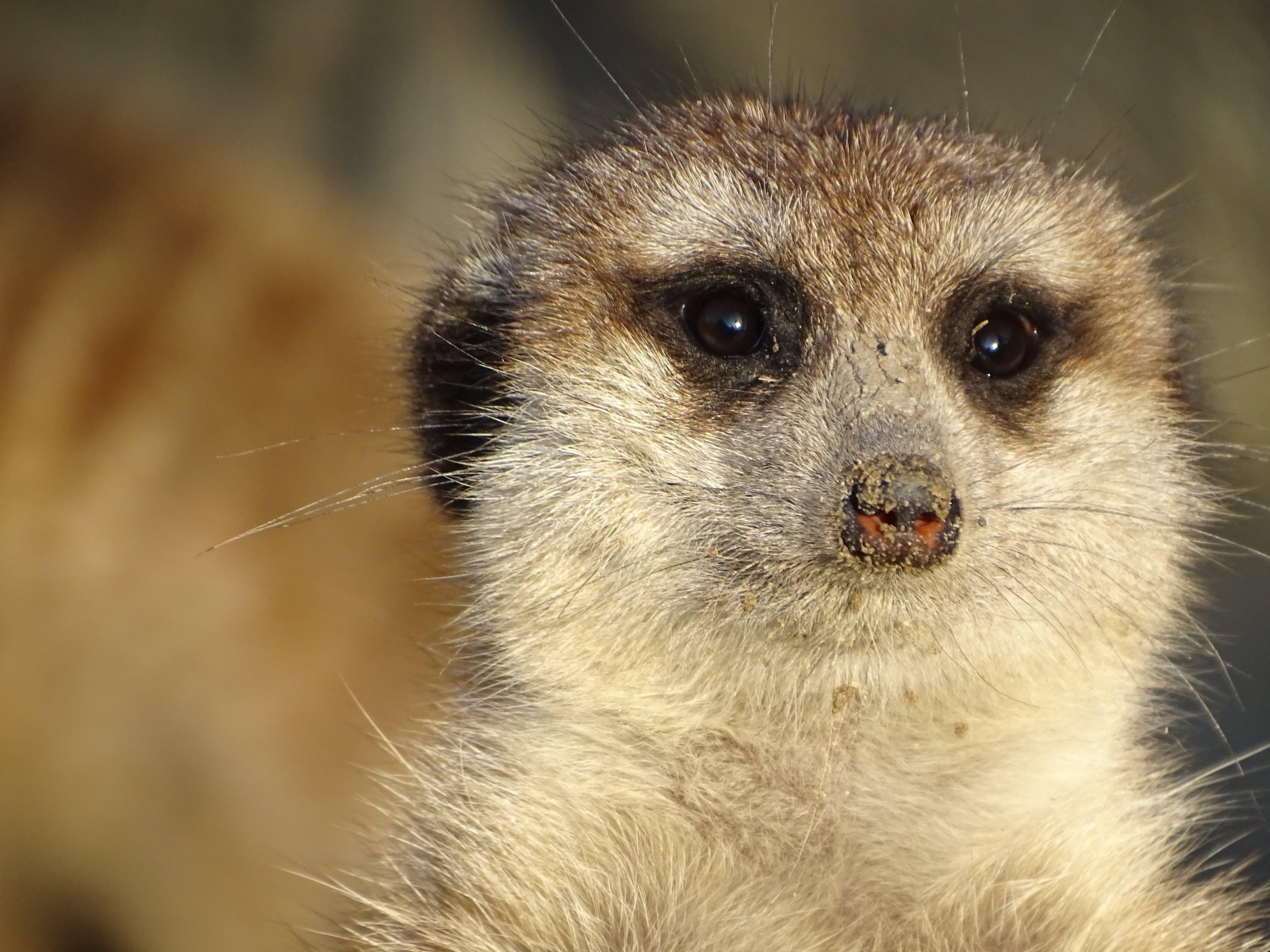 Free stock photo of meerkat